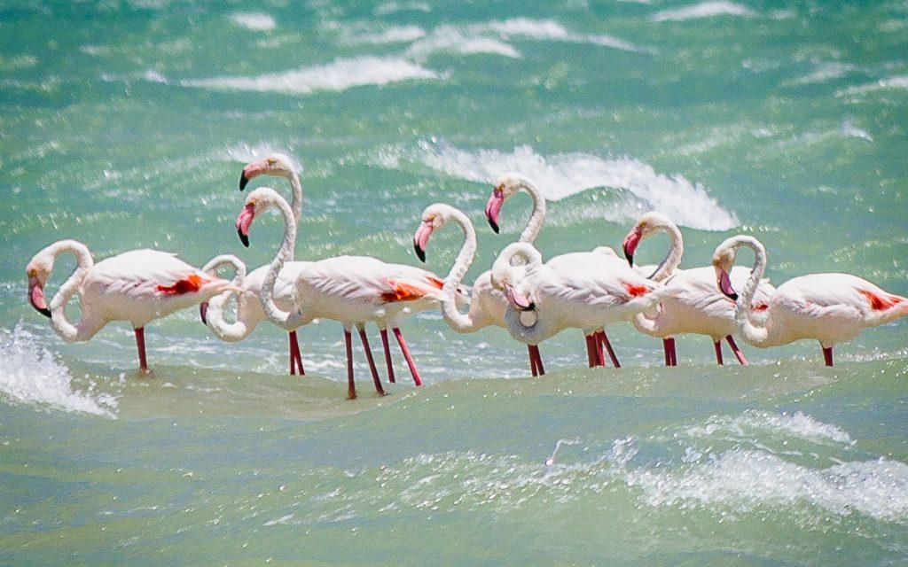 Flamingos Langebaan Lagune