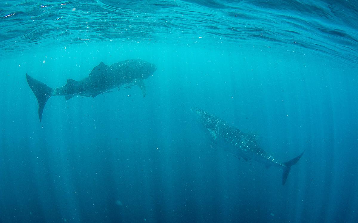 Mit Walhaien schwimmen Ningaloo Reef Australien