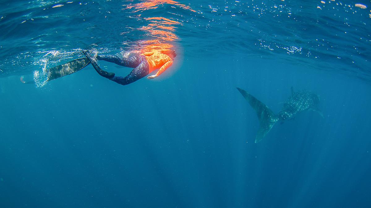 Mit Walhai schwimmen Westaustralien