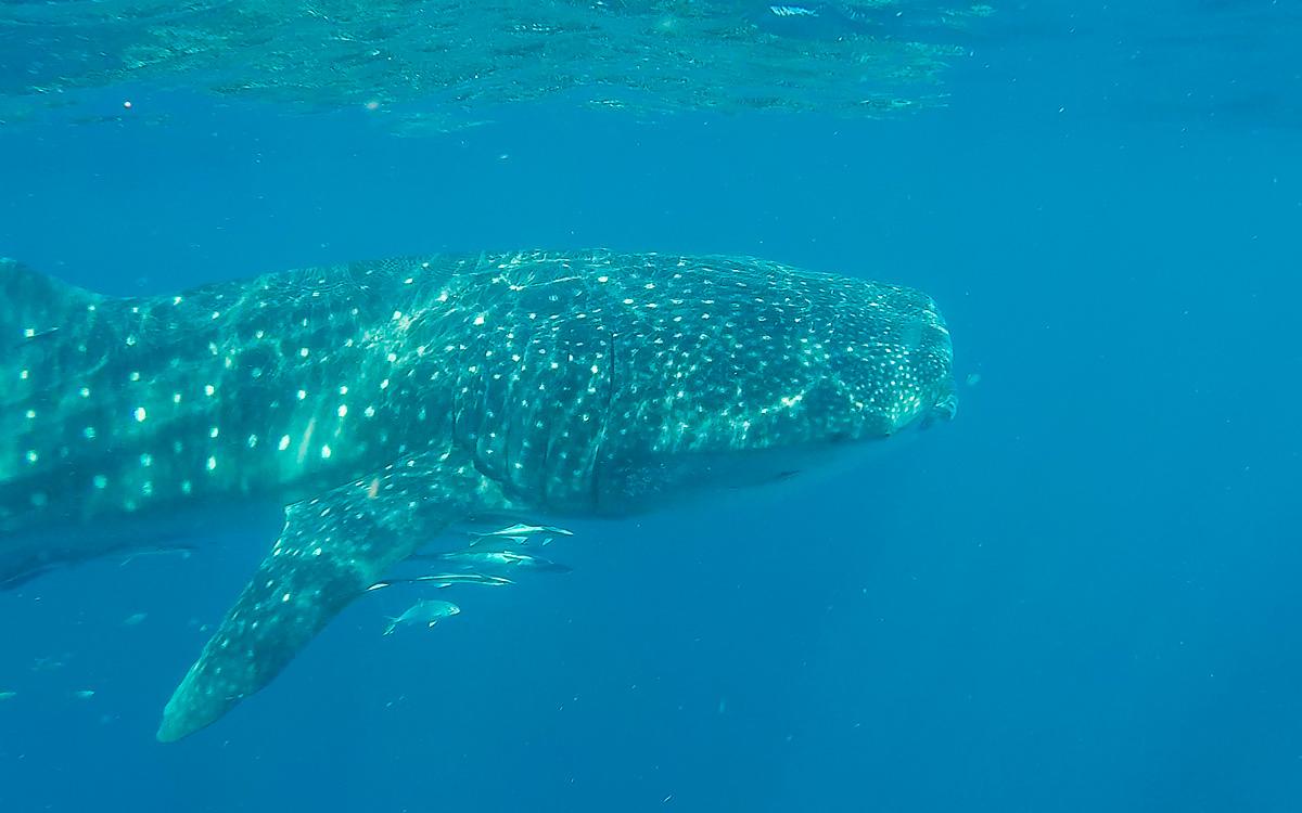 neben-walhai-schwimmen-westaustralien