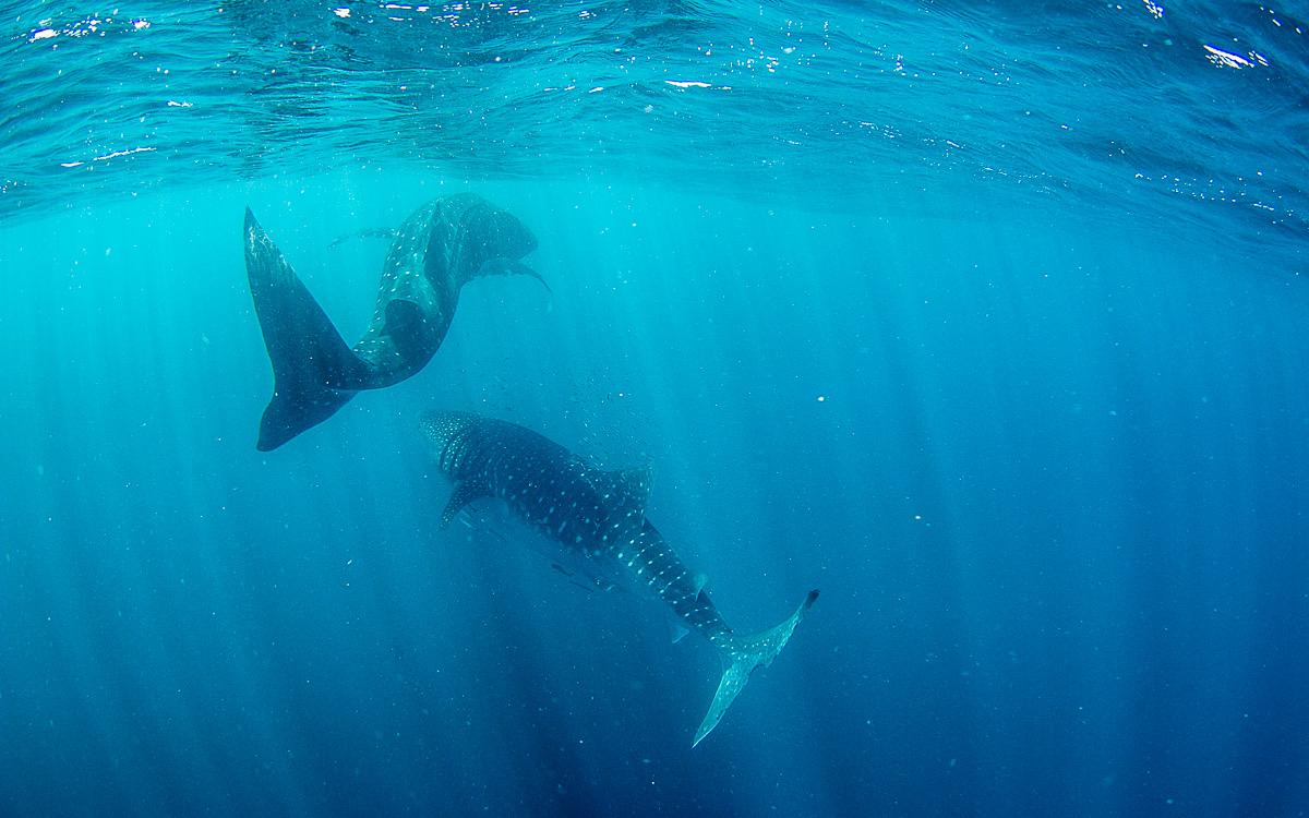 walhai-schwimmen-ningaloo-reef-21