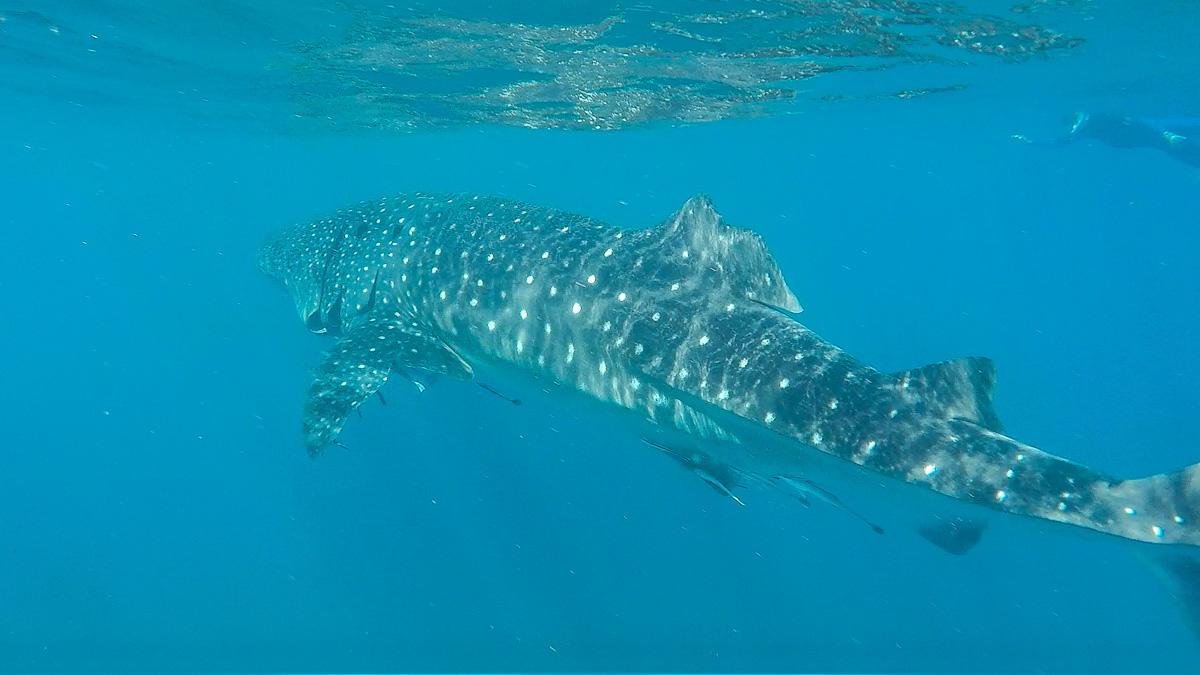 walhai-schwimmen-ningaloo-reef-9