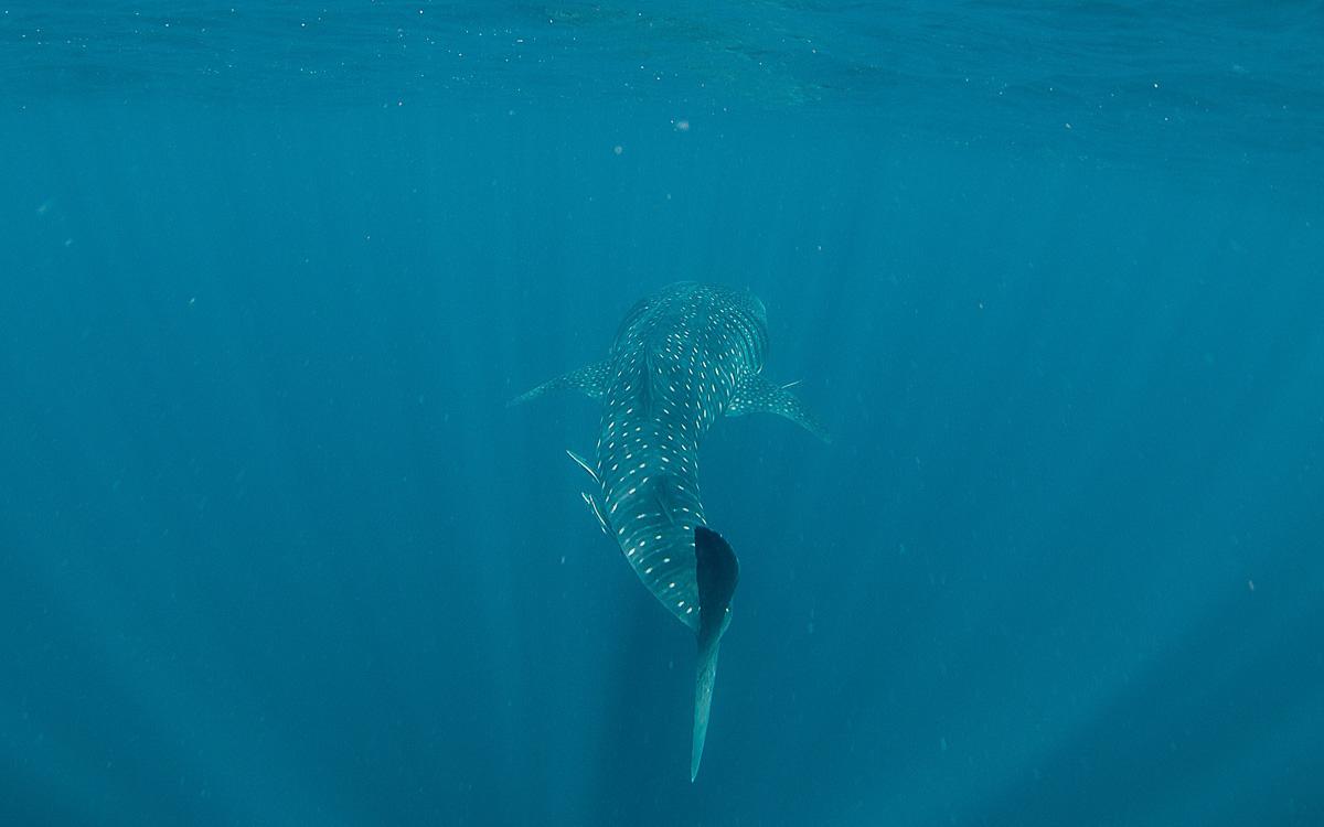 walhai-schwimmen-ningaloo-reef-flosse