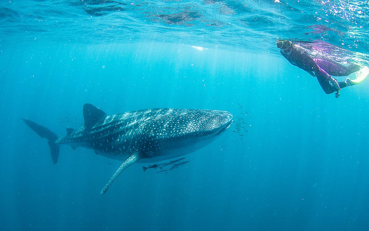Schwimmen mit Walhaien - taucht ein 2. auf