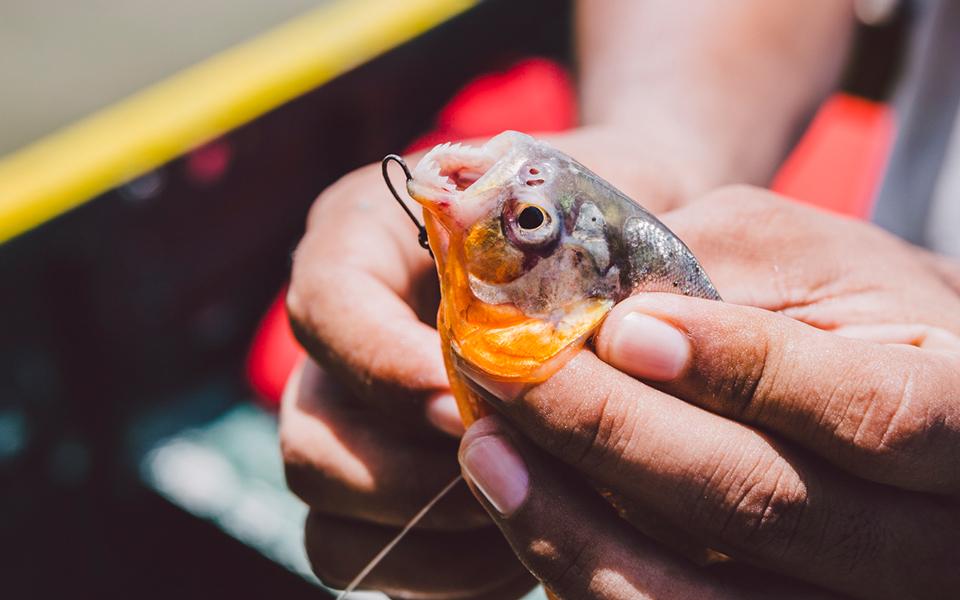 Piranha Zähne Amazonas Peru
