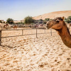 Kamelfarm in Wüste, Liwa Desert