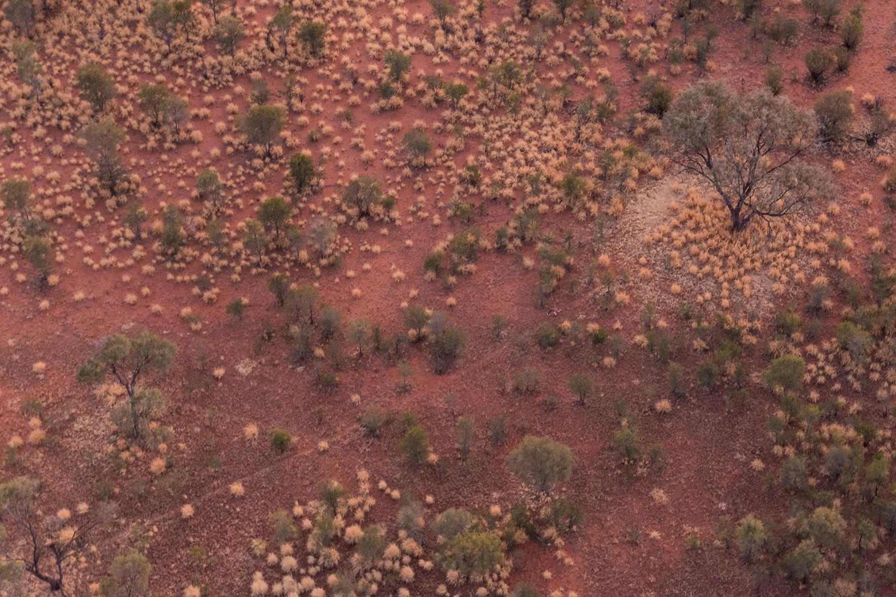 kangaroo-ballooning-alice-springs