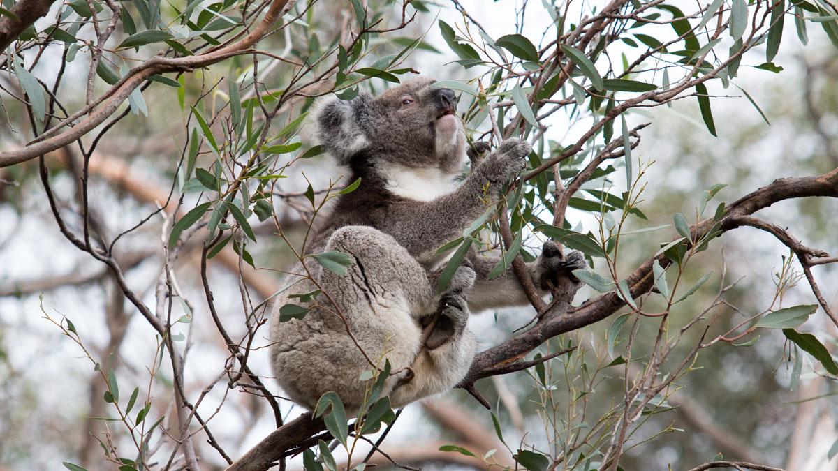 Koala der frisst, Kangaroo Island