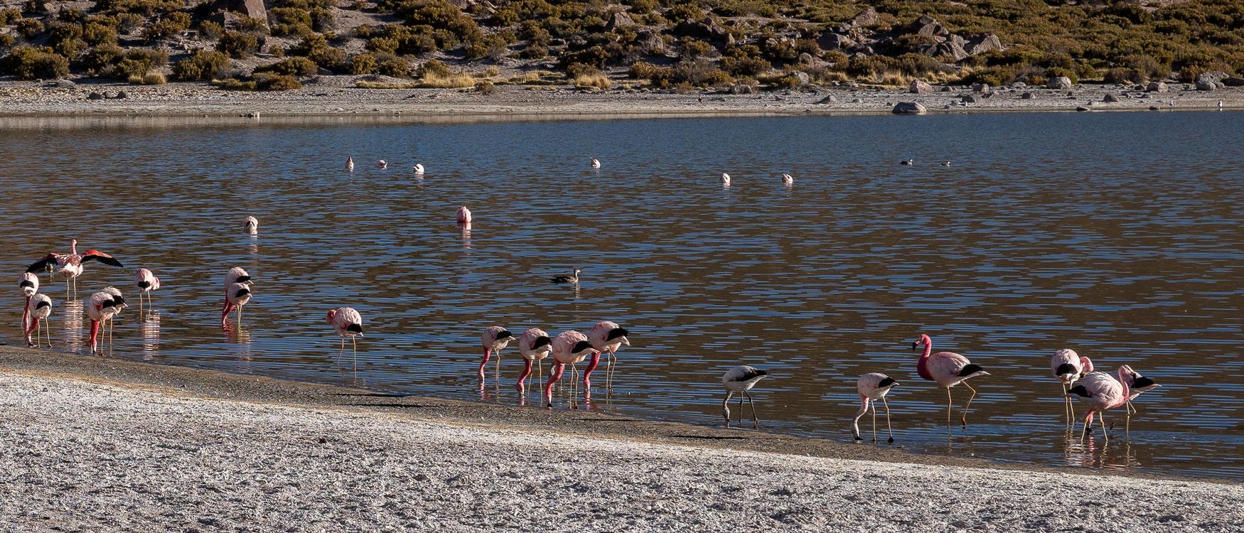 Flamingos Atacama Wüste.