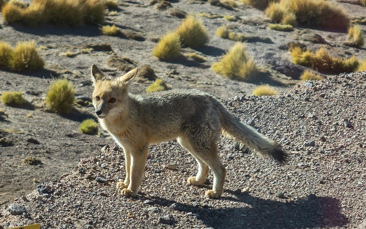 Fuchs Atacama Wüste