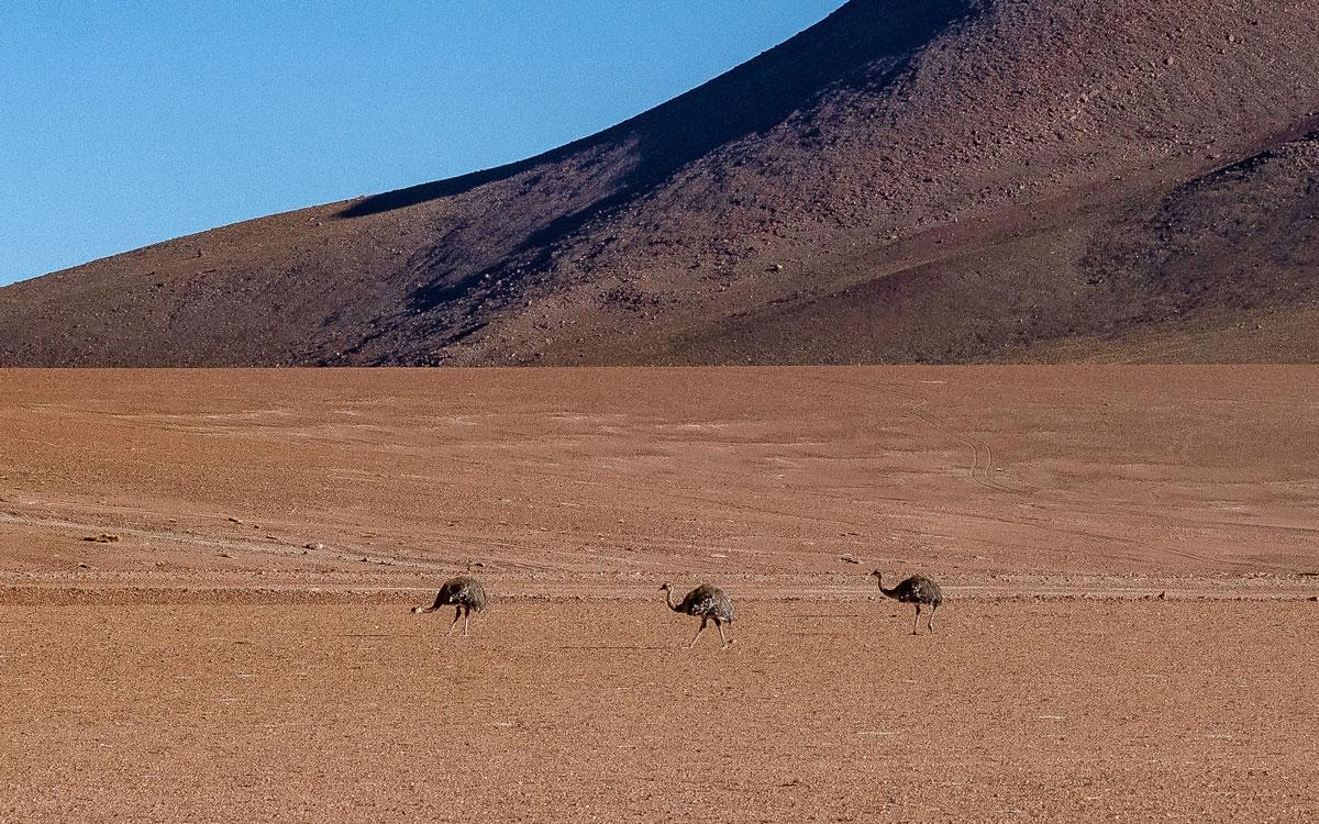 "Rhea - ""Roadrunner Atacama"