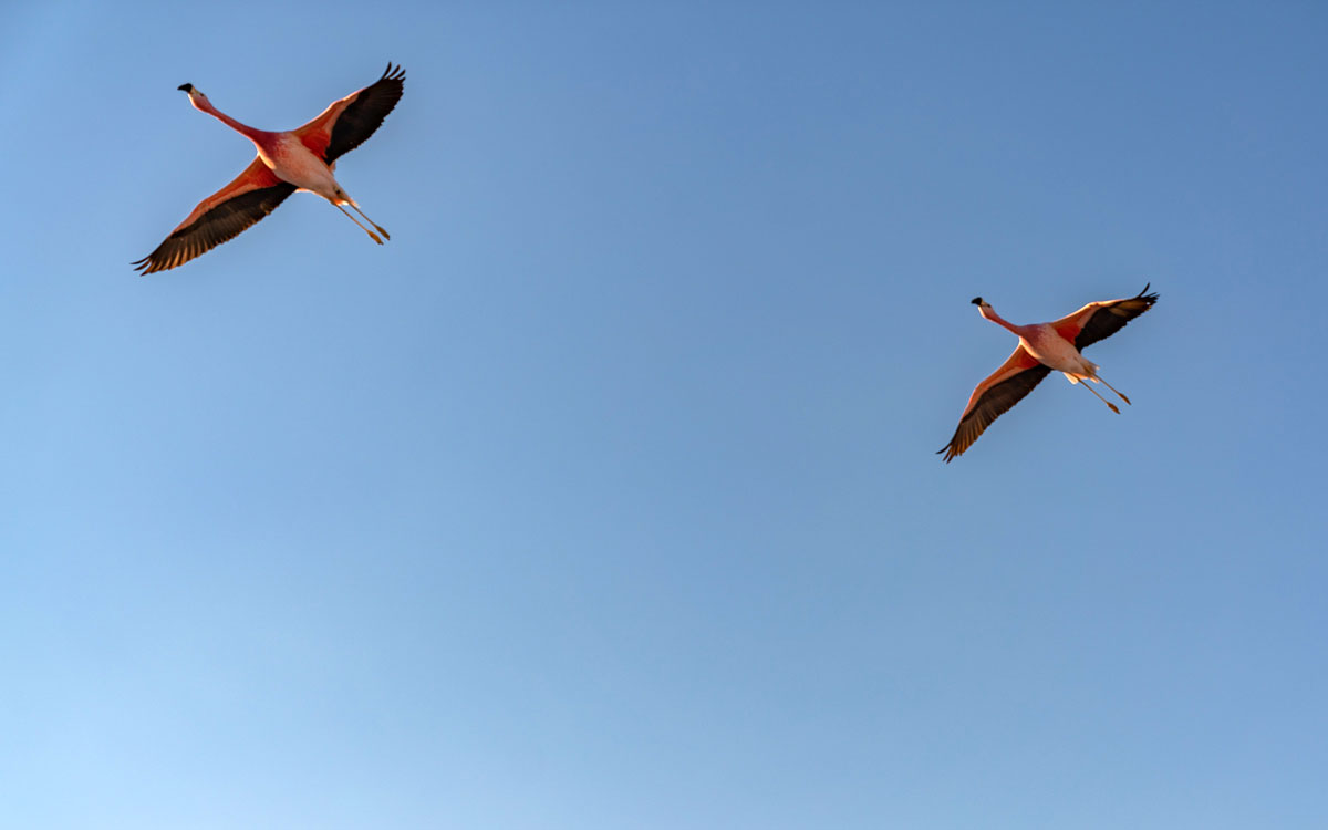 Salar de Atacama Flamingos.