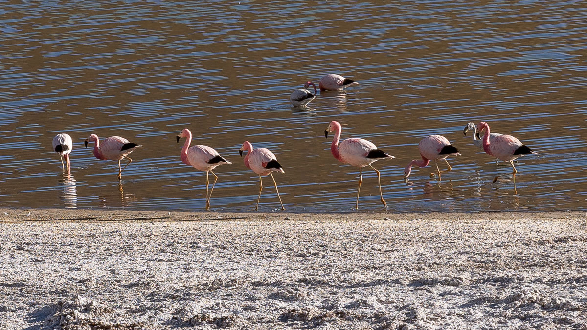 Chilenische Anden Flamingos
