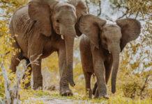 Junge Elefantenbullen im Greater Kruger National Park Südafrika