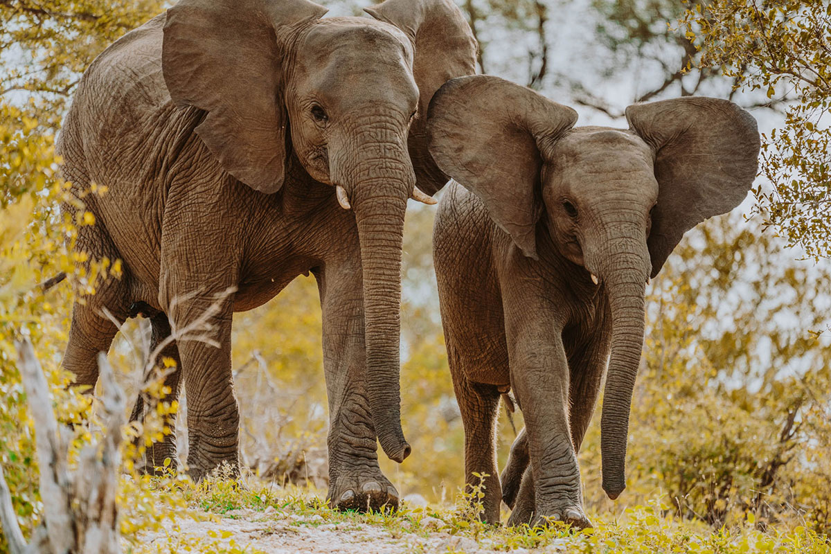 Young elephant bulls in the Greater Kruger National Park South Africa best holiday destinations for November