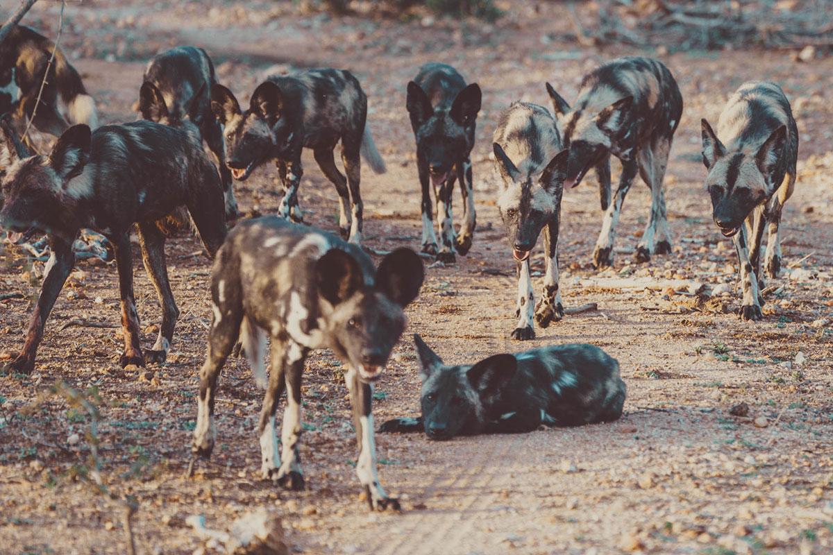 Großes Rudel Wild Dogs Kruger National Park