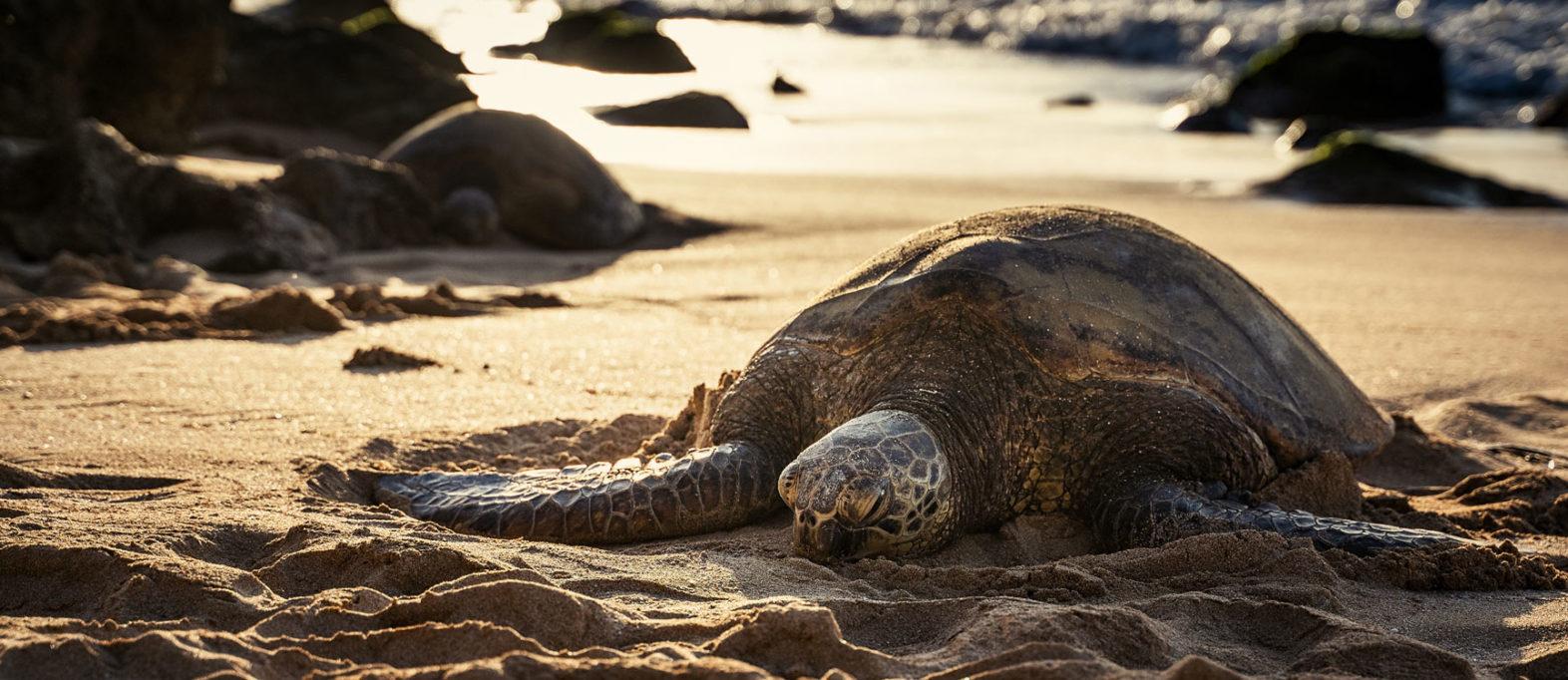 Schildkröte Laniakea Beach Oahu, Hawaii