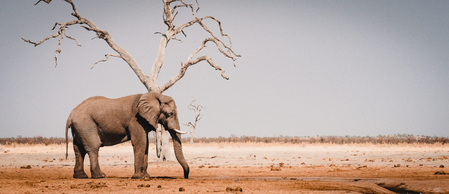 Botswana Reisetipps Elefant Savute
