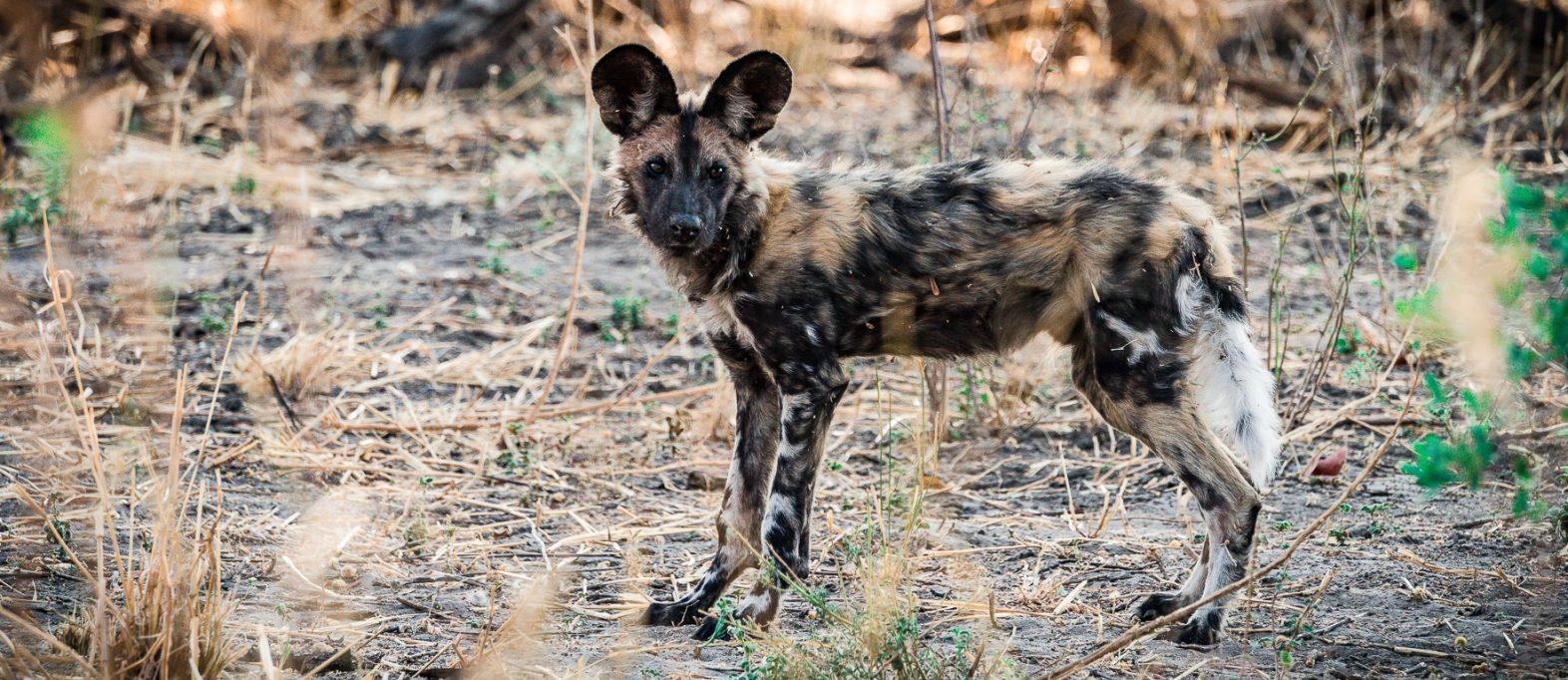 Wild Dog in Svauti Botswana