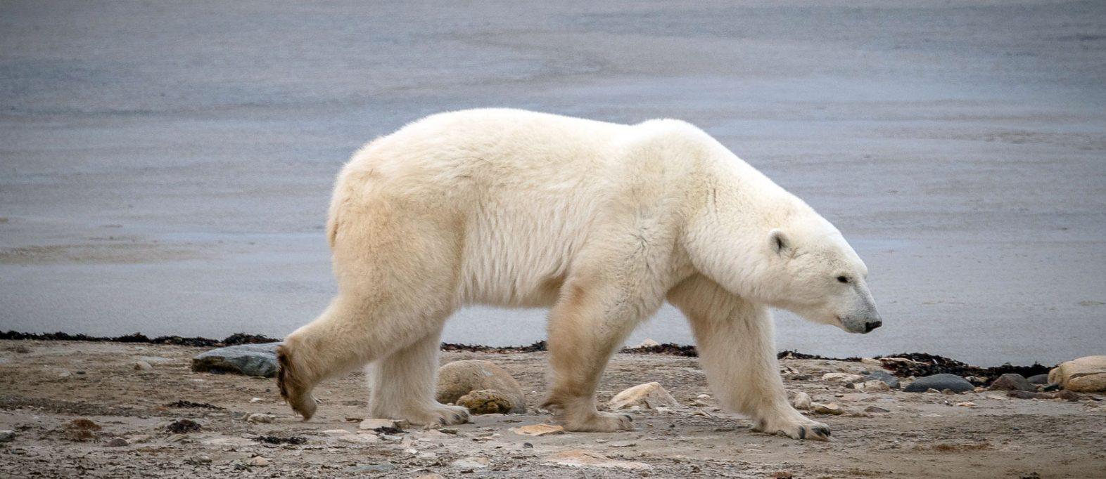 Churchill Eisbären (Manitoba Kanada)