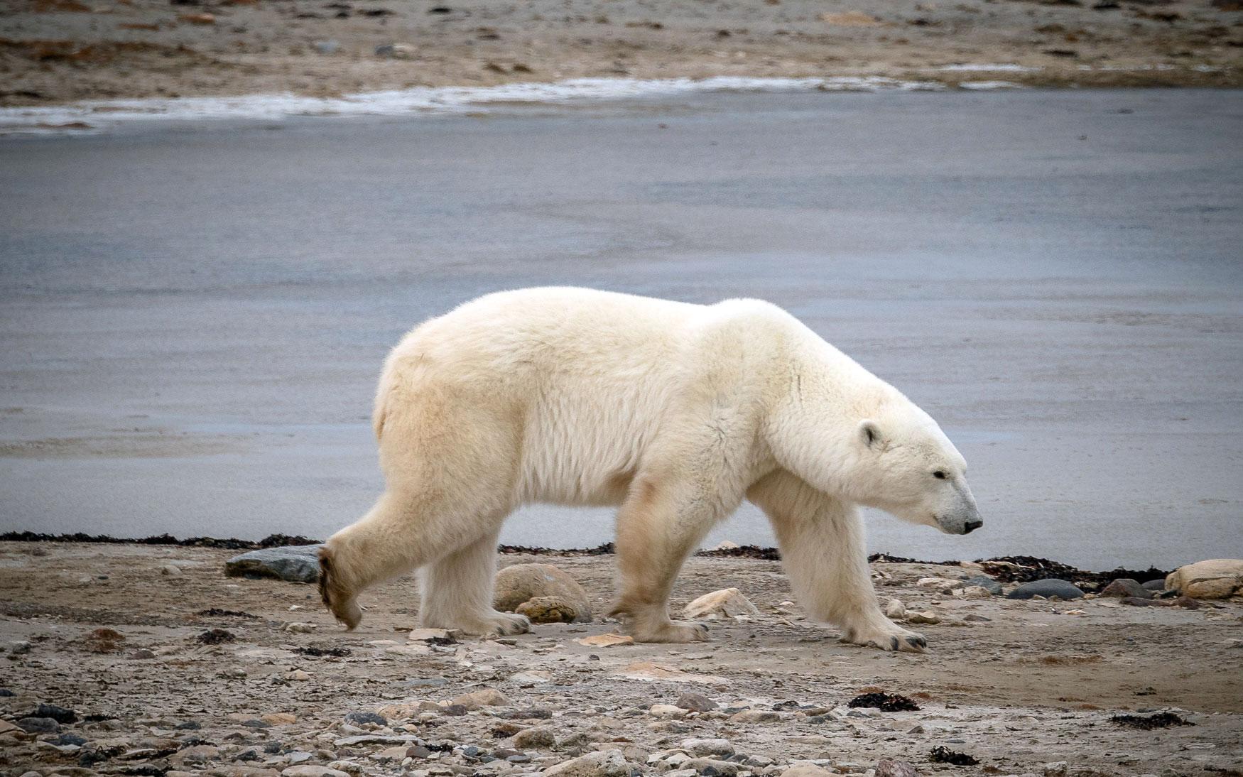 Churchill Manitoba Eisbären