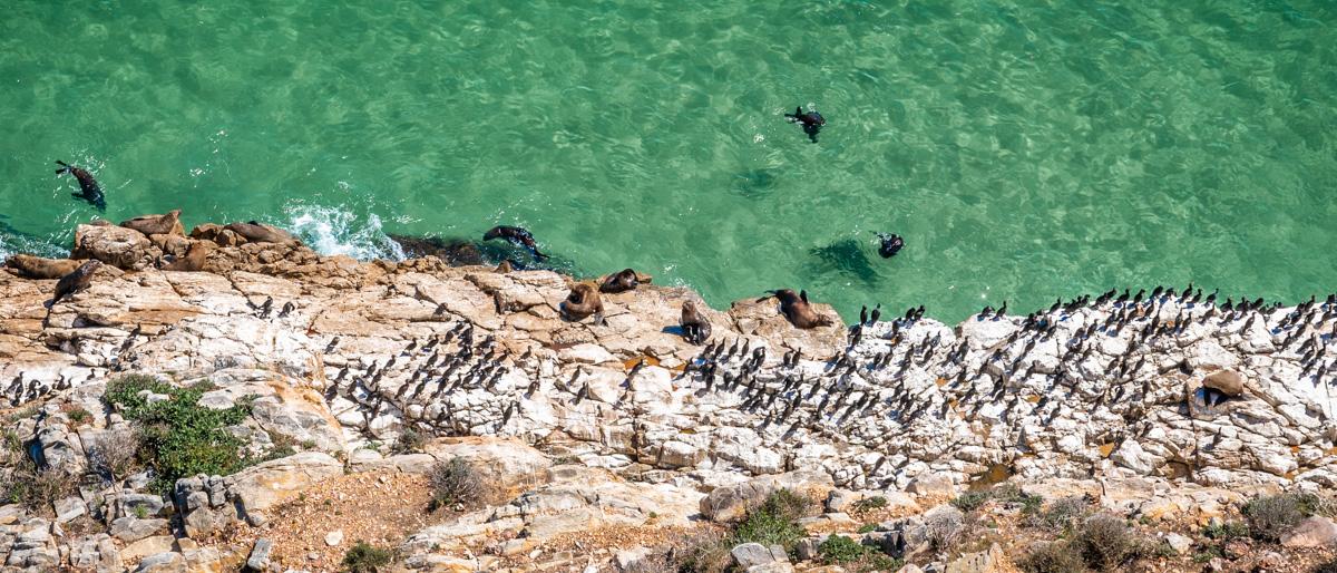 Cape Fur Seals (Robben)