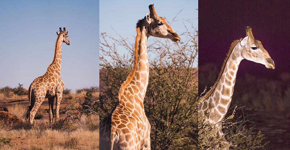 Giraffen Augrabies Falls National Parkl