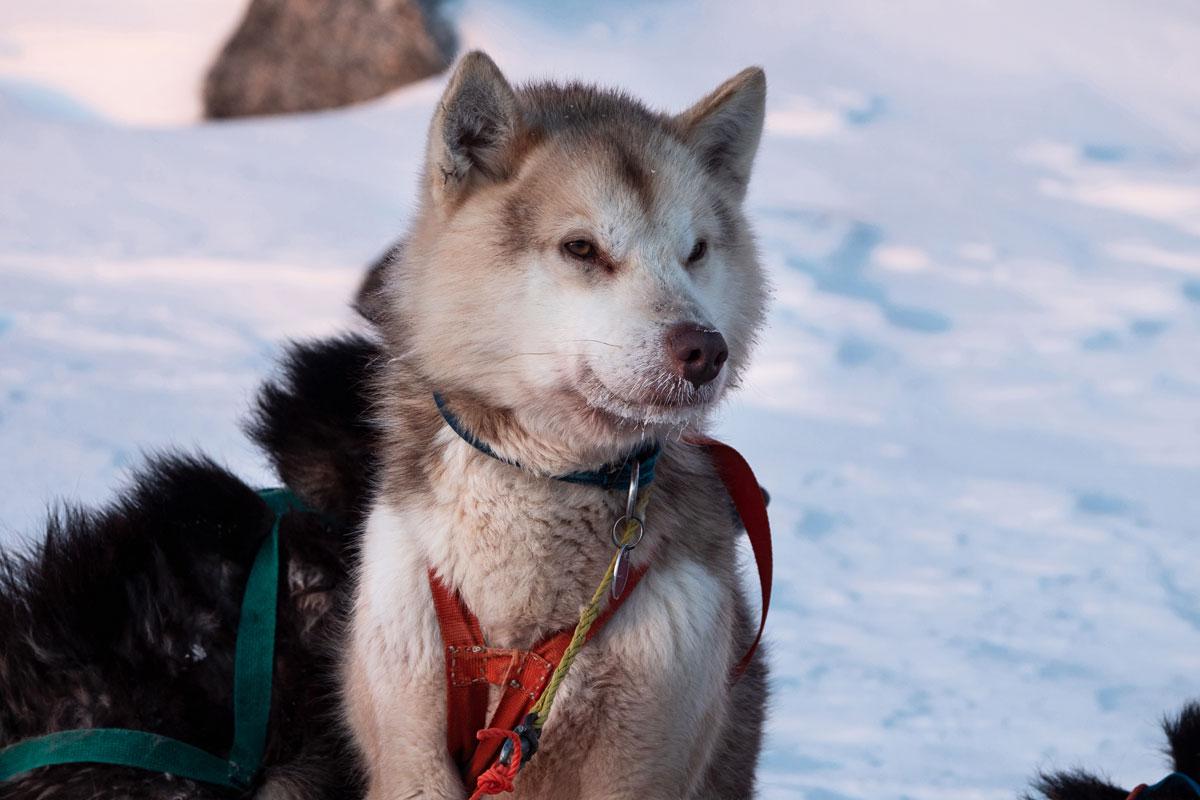 Grönland Hunde