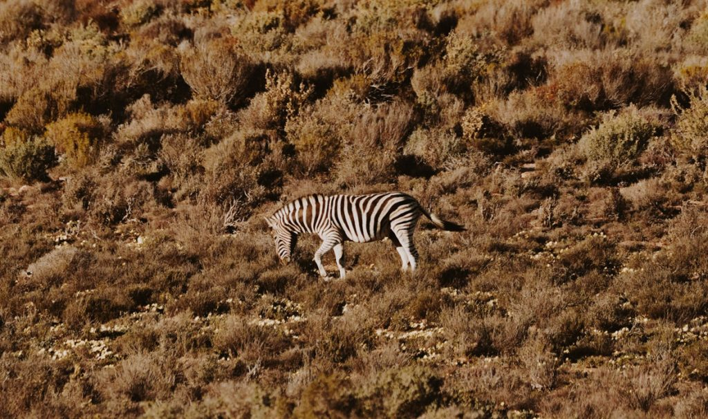Mountain Zebra in Kagga Kamma Sundowner Drive.a