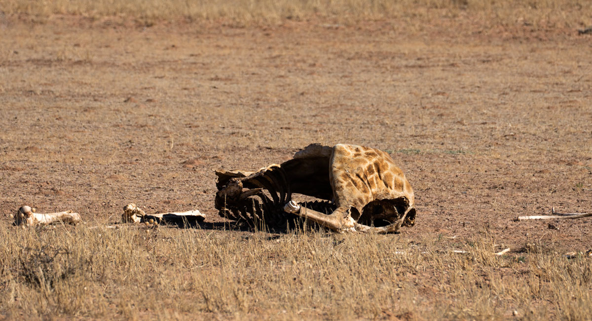 kgalagadi-transfrontier-nationalpark tote Giraffe
