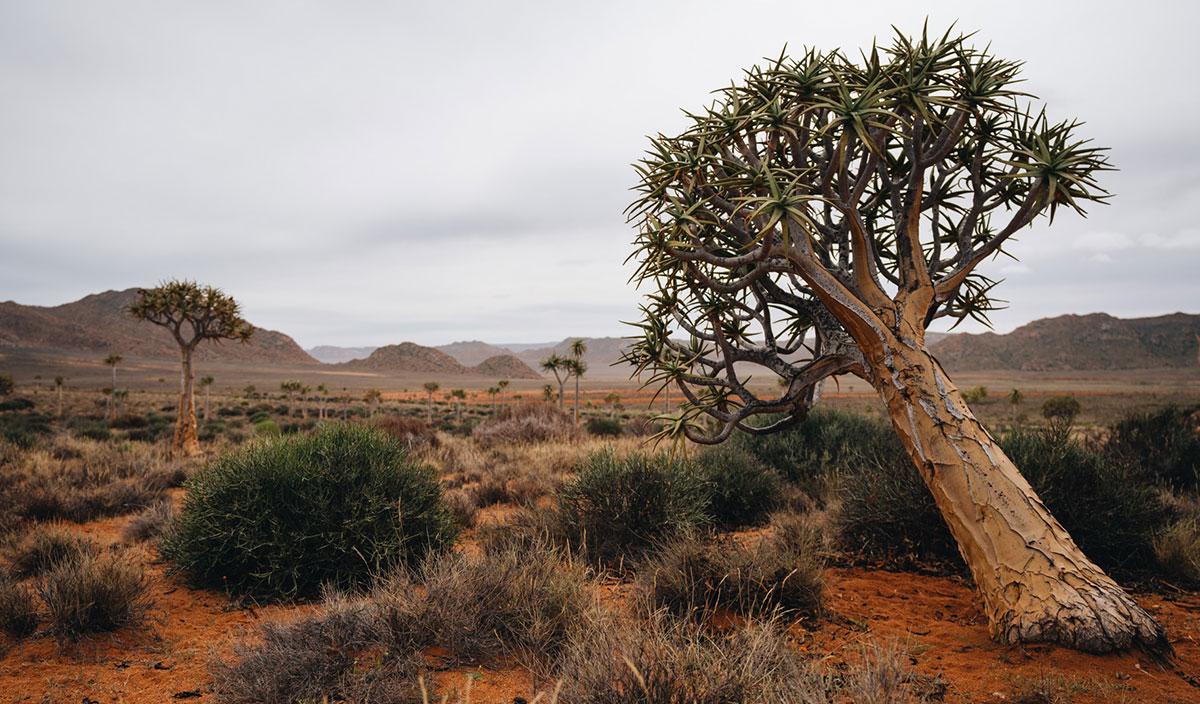 Köcherbaumwald Namaqualand