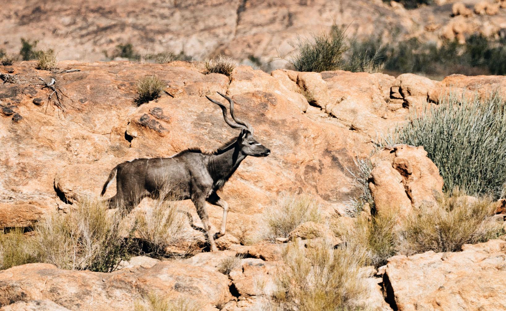 Kudu Augrabies Falls National Park