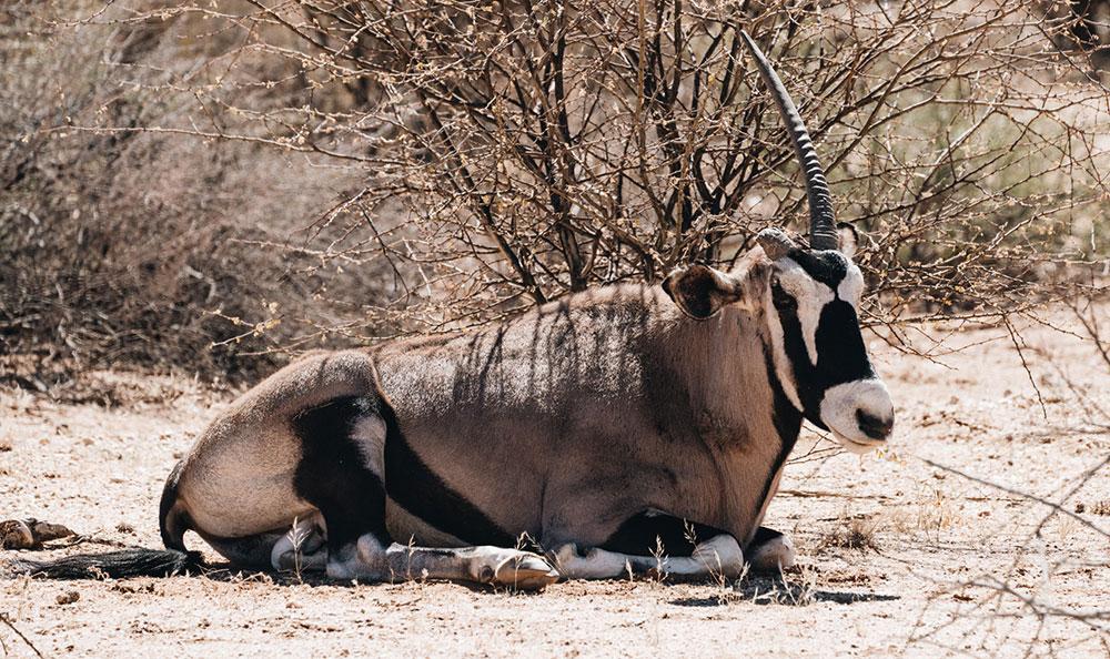 Oryx im Augrabies Falls National Park