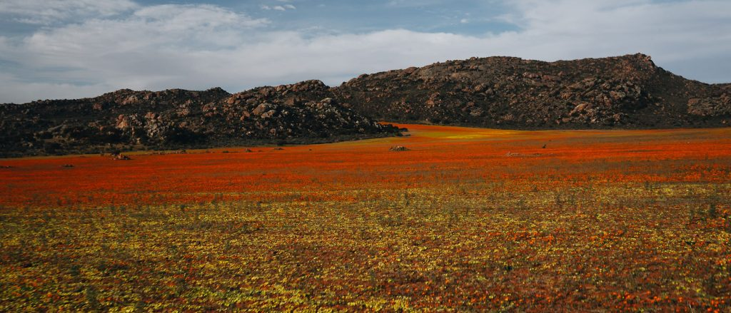 Wildblumen im Namaqualand knallig gelb und orange