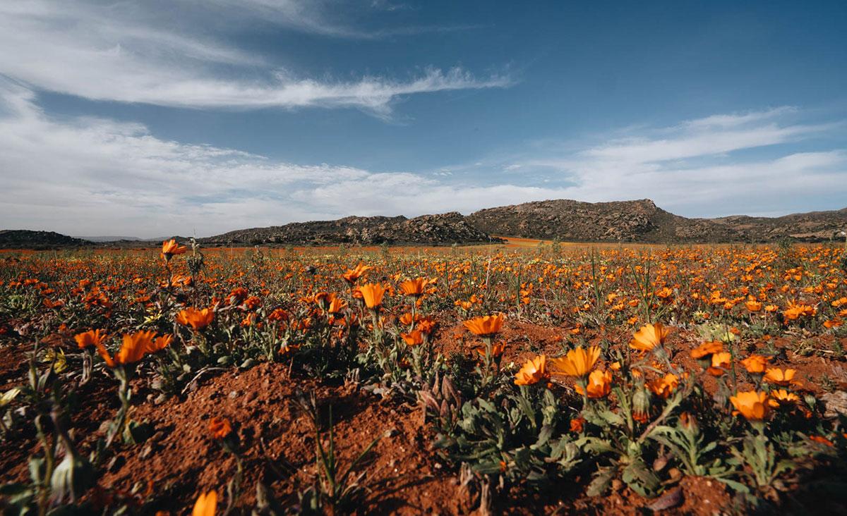 wildblumen-springbock-okiep