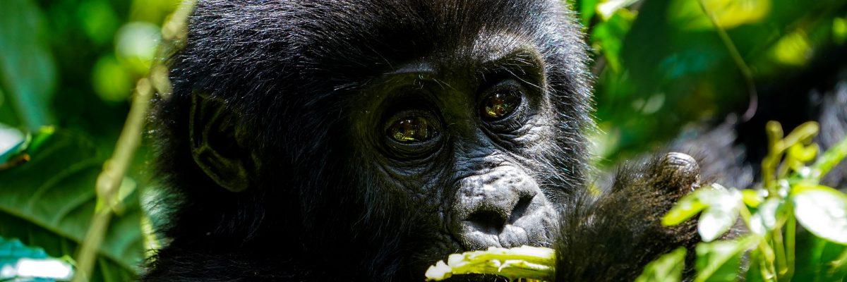 Uganda: Gorillas, Löwen, Giraffen & Wasserprojekte