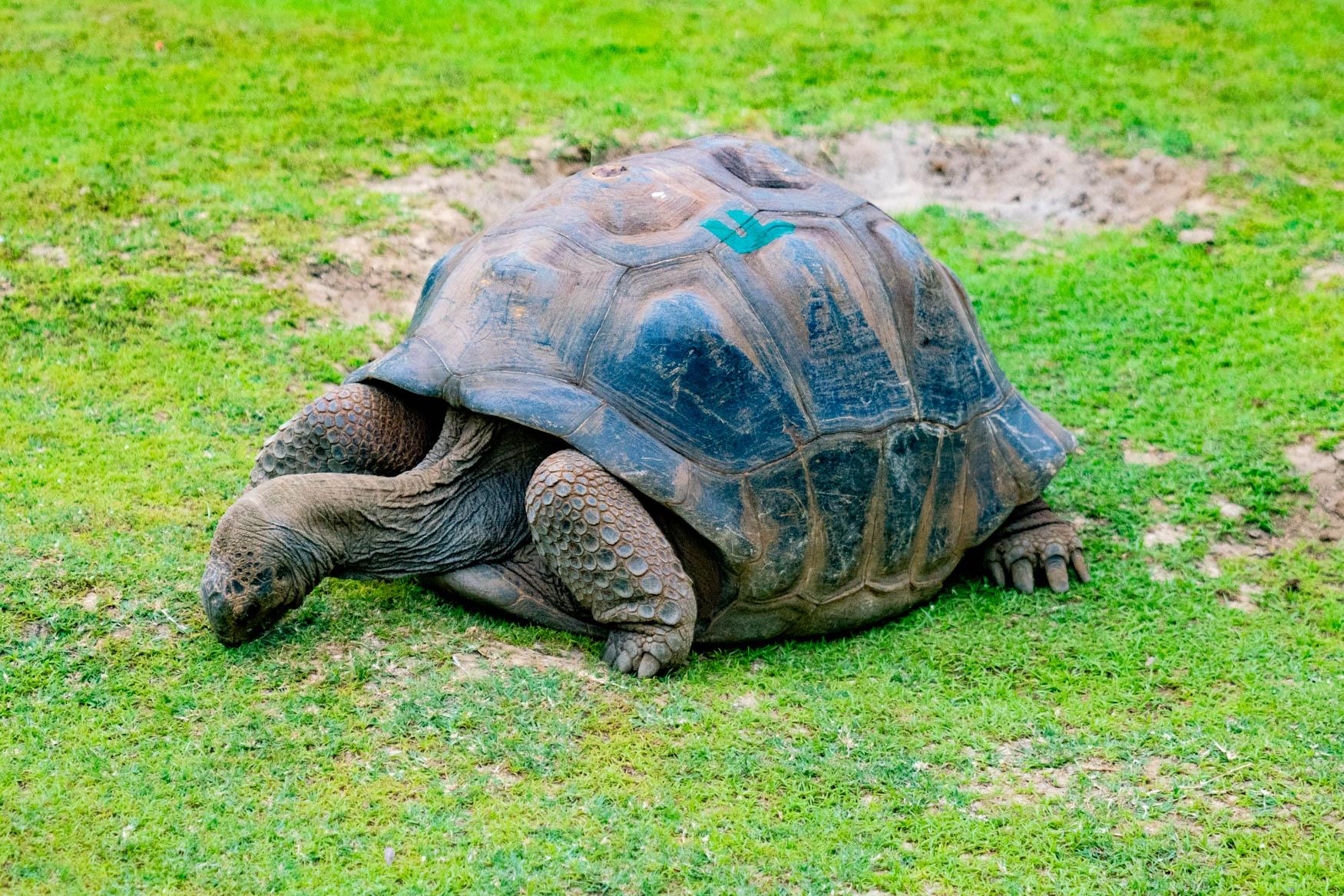 Schildkröte im Botanischen Garten Pamplemousse.