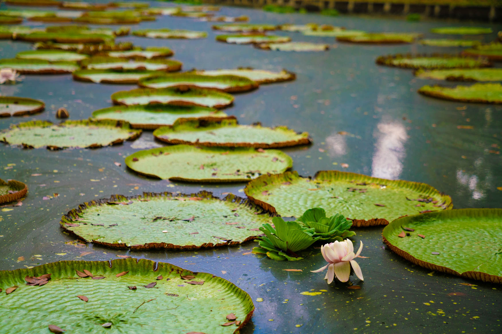Wasserrose im Botanischen Garten Pamplemousse.