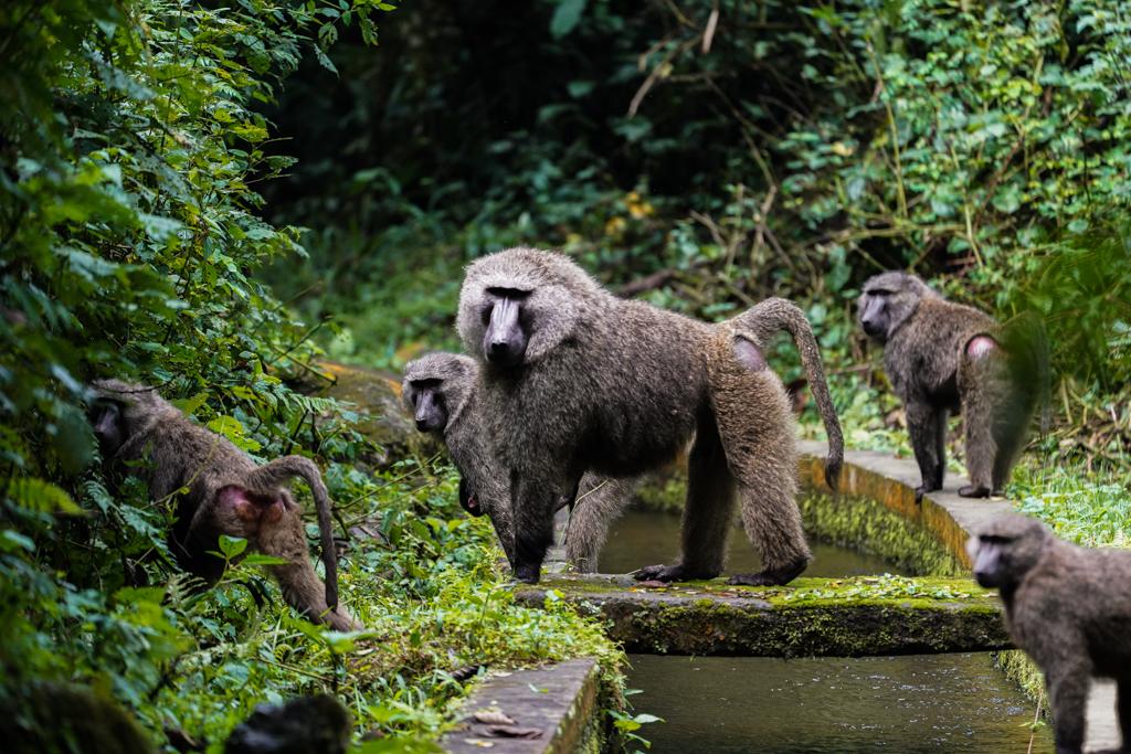 Bwindi Impenetrable Forest Nationalpark Affen