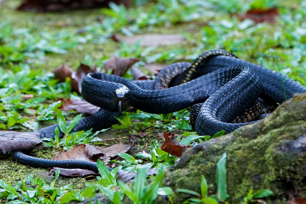 Black Mamba Bwindi Impenetrable Forest Nationalpark