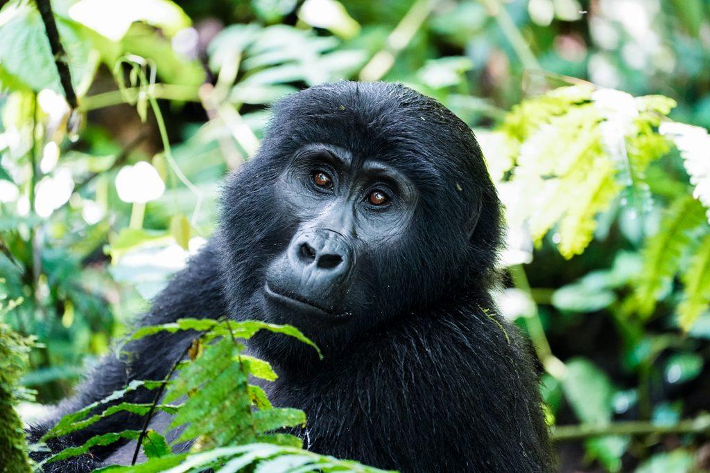 Uganda Bwindi Nationalpark Gorilla