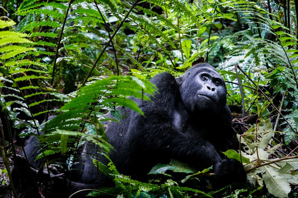 Gorilla im Bwindi Nationalpark Uganda
