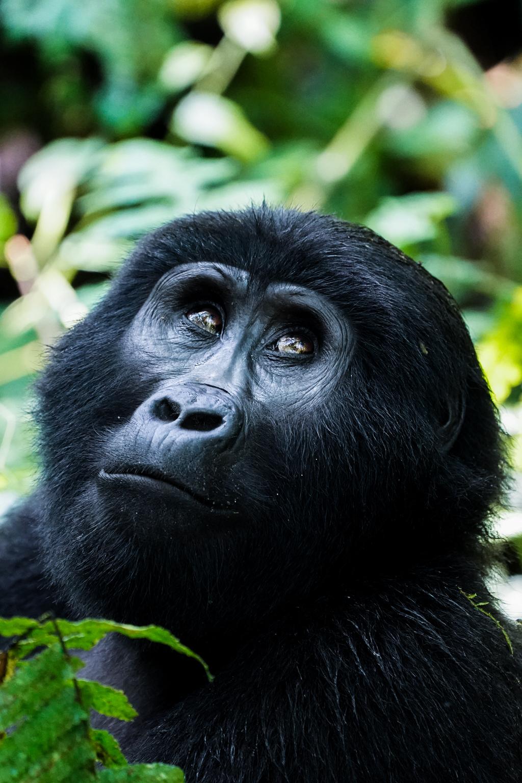 Gorillas im