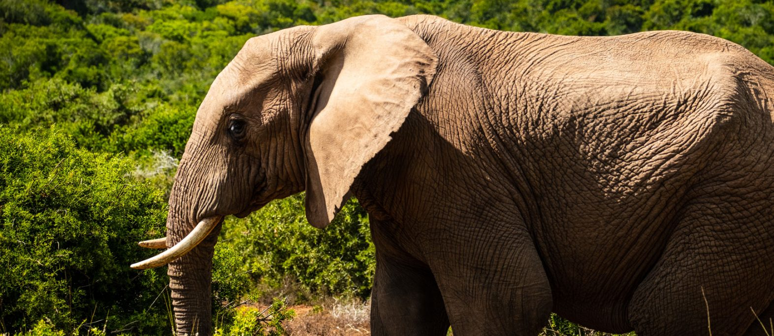 Elefant im Addo Elephant National Park