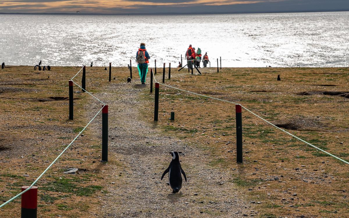 Pinguin Isla Magdalena Patagonien