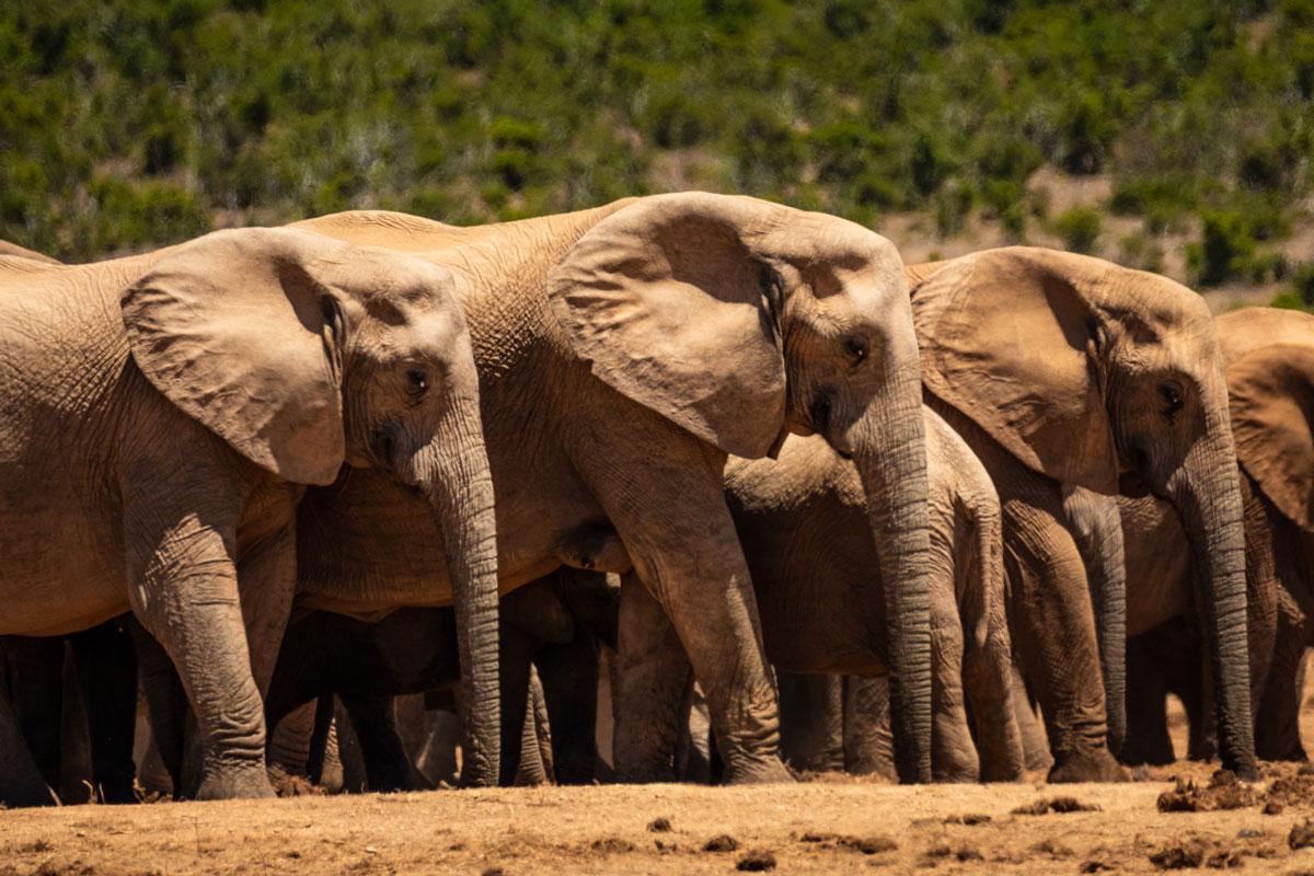 addo-elefanten