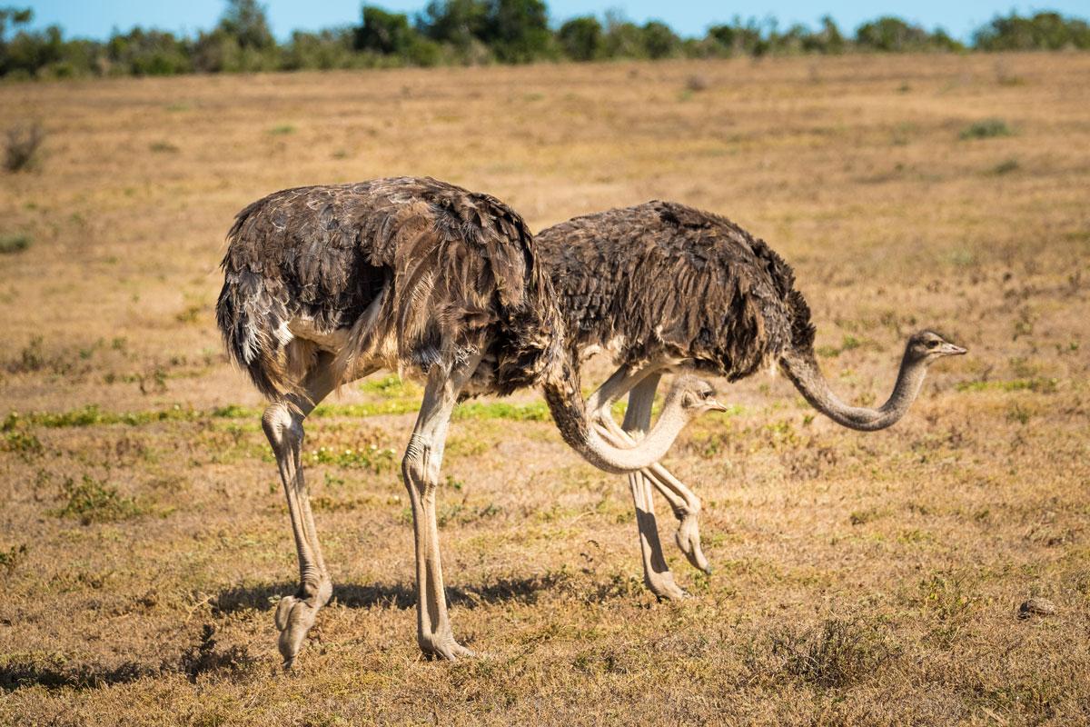 Strauße Addo Elephant National Park
