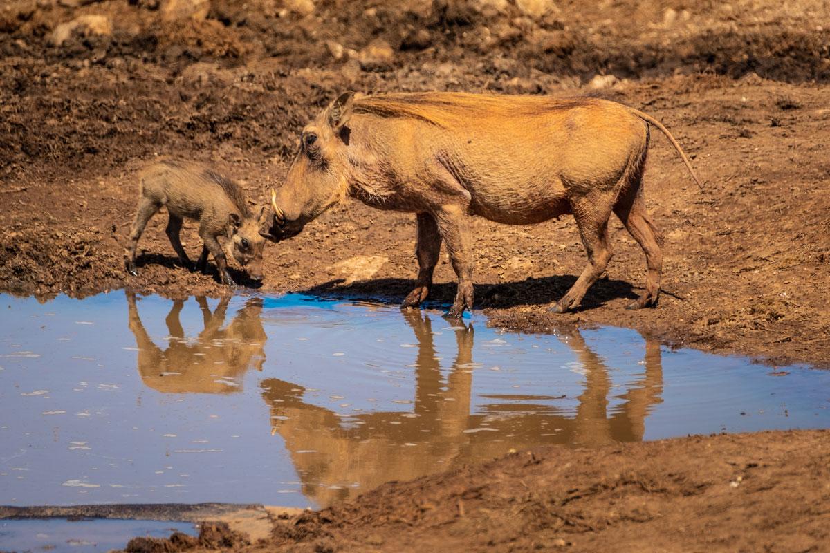 Warzenschweine Addo Elephant Park