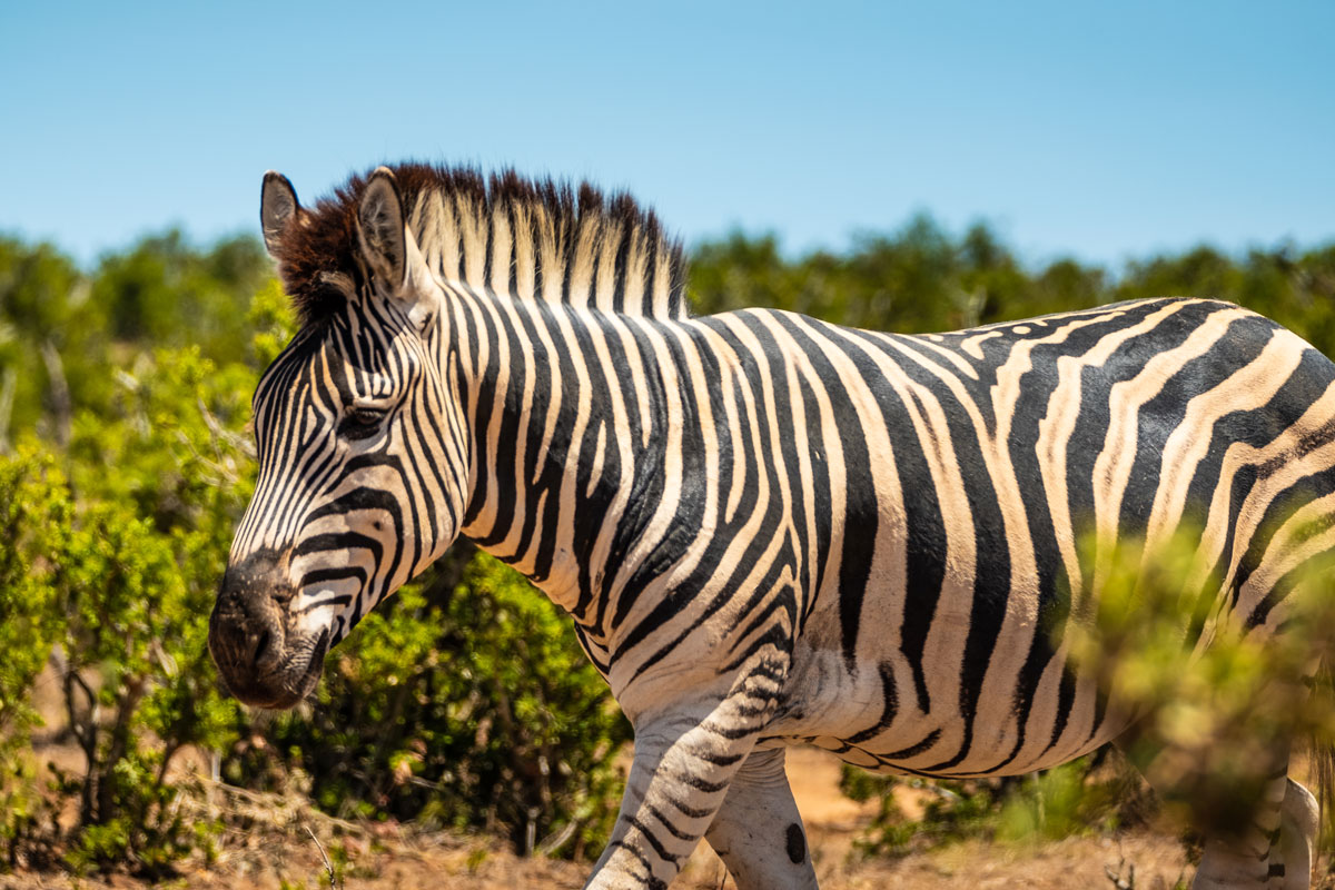 addo-elephant-park-zebra-2