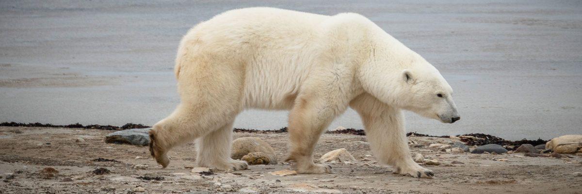 Churchill, Manitoba: Eisbären, Nordlichter und Street Art